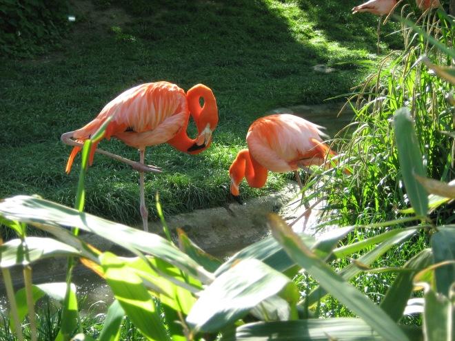 flamingo, păsări